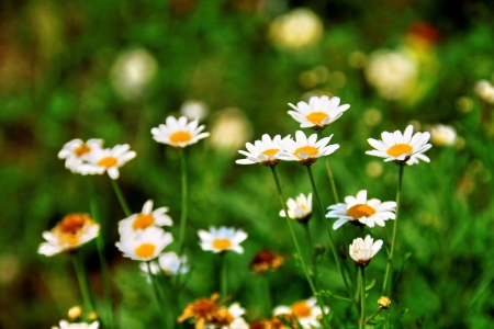 eriocaulaceae: Blooming white star flowers in the nature scene  White daisy