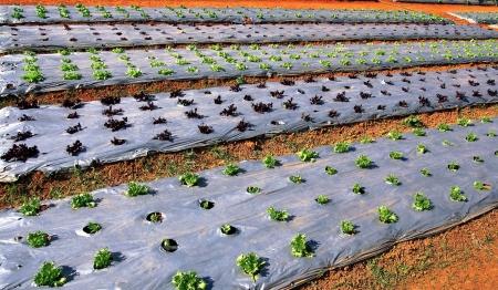 paillis: Jeune Laitue verte et rouge cultiv� dans le film plastique paillis. (Mulching)