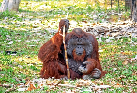 hominid: The old Orangutan is eating a sugarcane.