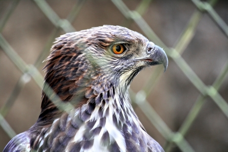 Hawk in cage. Falcon photo