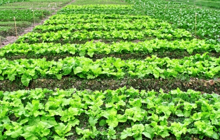 Agricultural industry  Growing vegetable on field  Green lettuce field photo