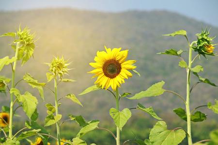 sear: Sunflower still bloom in field among sear flower, vintage style