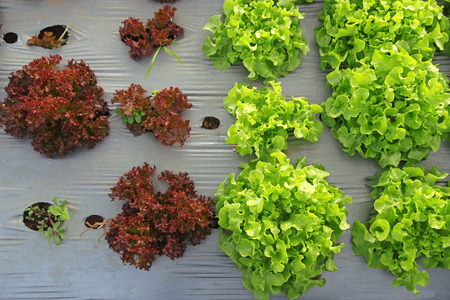 Comparison between big young Green and small red lettuce grown in the mulch plastic film. (mulching) photo