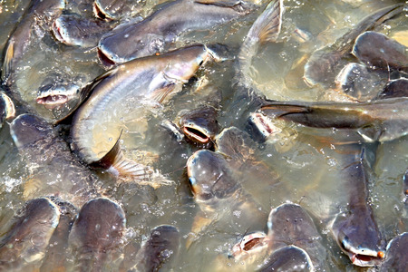 sheatfish: The crowd of catfish. Feeding caifish Stock Photo