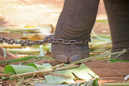 Elephant leg is chained
