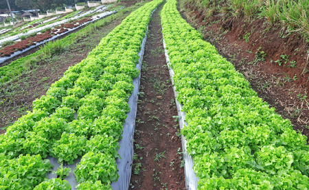 lactuca: Young Green and red lettuce grown in the mulch plastic film. (mulching)