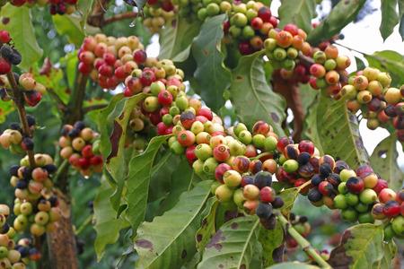 coffee coffee plant: Fresh raw coffee beans still on plant