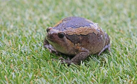 bullfrog: Bullfrog expand body to protect itself