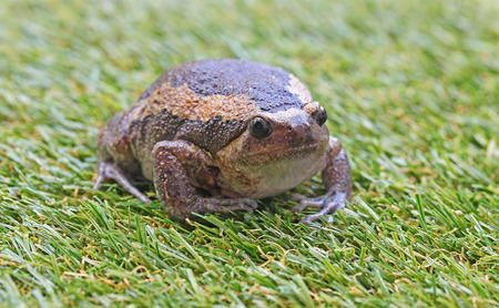 expand: Bullfrog expand body to protect itself