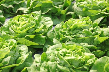 cropland: Green lettuce grown in the mulch plastic film. (mulching) Stock Photo