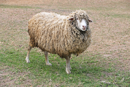 Handsome sheep smile at field in summer time