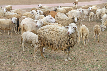 A herd of sheep at field in summer time