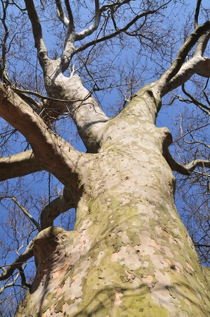 sycamore: Looking up at a big sycamore tree. Stock Photo
