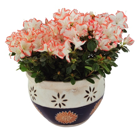 White and orange azalea in flowerpot, isolated on white. photo