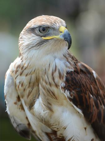 buzzard: The Common Buzzard  Buteo buteo  detail  Focus on eye  Stock Photo