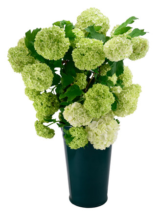 guelder: Snowball Viburnum Bush (or Guelder Rose) in green vase isolated on white.