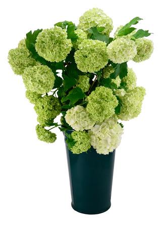 guelder: Snowball Viburnum Bush (or Guelder Rose) in green vase isolated on white.