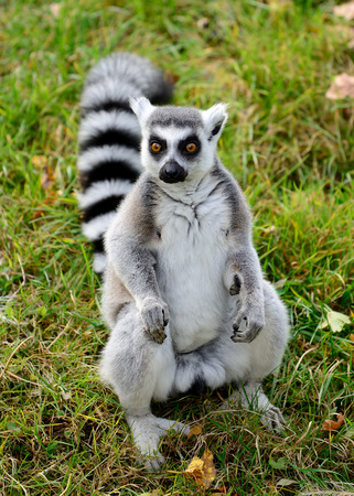 tailed: One ring tailed lemur (Lemur catta) in the grass Stock Photo