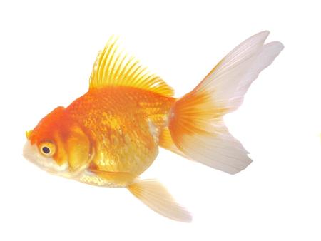 simple life: Goldfish on White Background