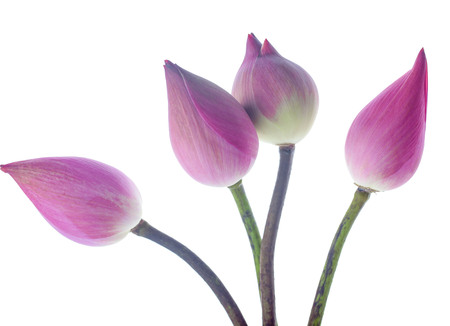 Pink lotus lobes on a white background Stock Photo
