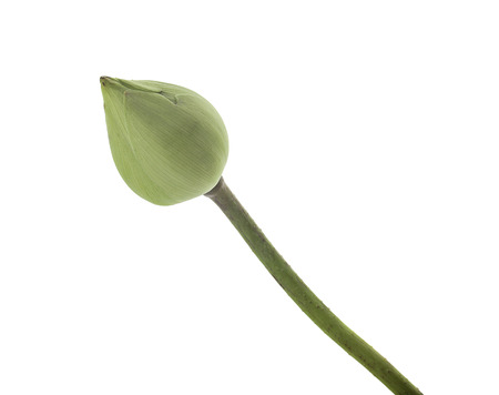 Lotus lobes isolated on a white background