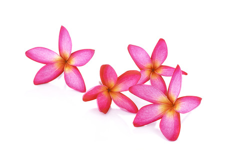 Pink Frangipani Plumeria flower
