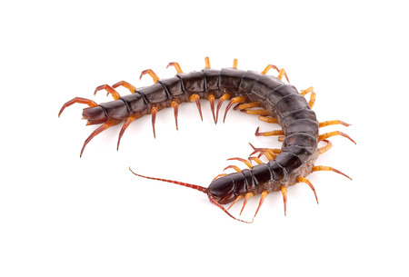 centipede on white background Stock Photo