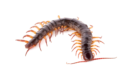 centipede isolated on white background