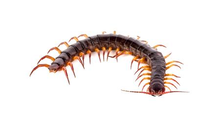 centipede on white background Stock Photo