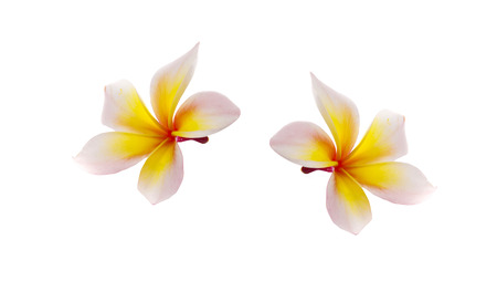 frangipani flower isolated on white 写真素材 - 125710488