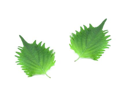 fresh green shiso leaf on white background 写真素材