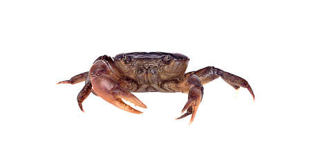 Crab (Field crab) Isolated on white background 写真素材 - 125710530