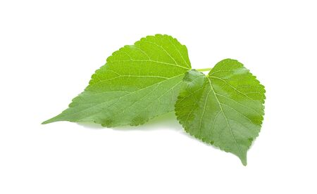 Mulberry green leave on white background isolated