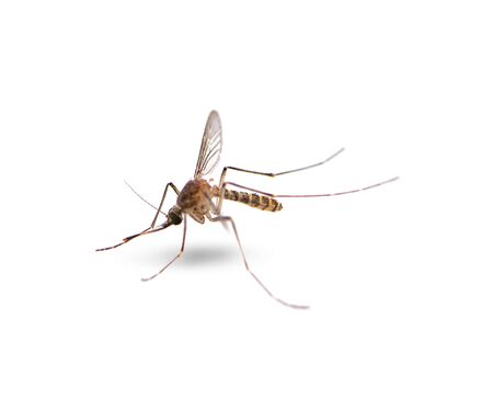 Mosquito isolated on white background 写真素材