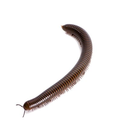 a single millipede, the white background Archivio Fotografico - 132080704