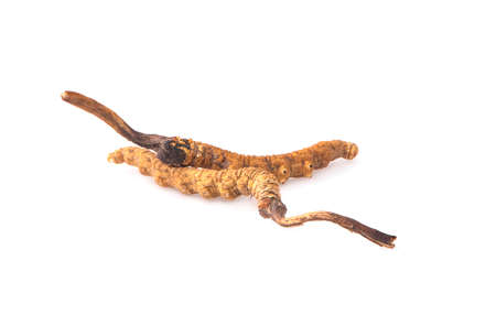Cordyceps an isolated on white background