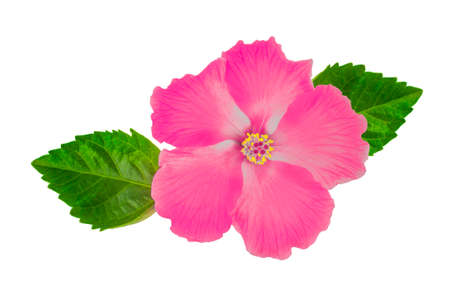 Hibiscus flower with leaf isolated on white background Foto de archivo