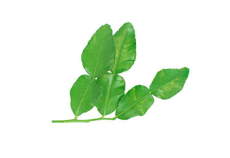 Kaffir lime leaves  isolated on white background