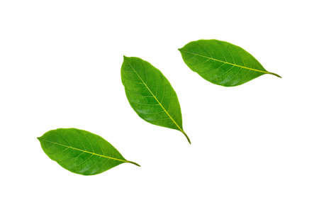 Leaves of jackfruit an isolated on a white background