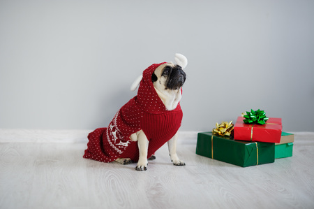 The amusing doggy of breed a pug is dressed by a holiday in a red-white suit of a reindeer. She sits next to the gifts in bright packaging. Merry Christmas. Happy New Year.