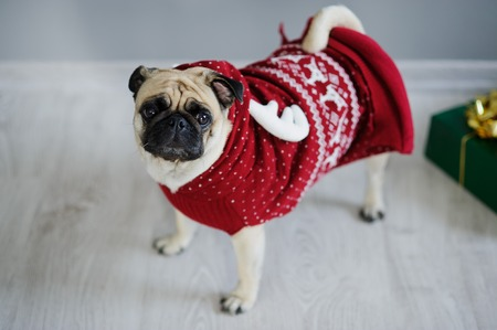 kringle: Amusing doggie of breed a pug in a reindeer suit. The dog is dressed in a red-white sweater. The clever animal looks in the camera sad eyes. Merry Christmas. Happy New Year.