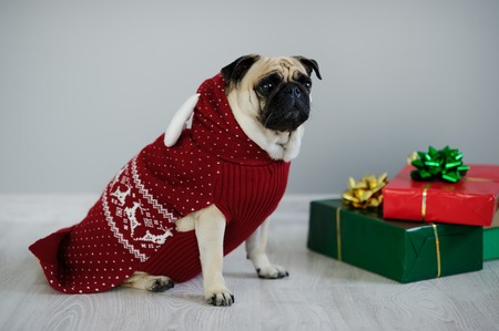 next year: The amusing doggy of breed a pug is dressed by a holiday in a red-white suit of a reindeer. She sits next to the gifts in bright packaging. Merry Christmas. Happy New Year.