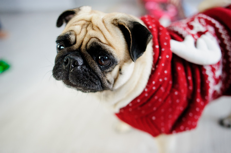 vigil: Amusing doggie of breed a pug in a reindeer suit. The dog is dressed in a red-white sweater. The clever animal looks in the camera sad eyes. Merry Christmas. Happy New Year.