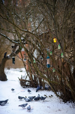 perish: In the winter park various birds feeders hang on a bush. Pigeons and sparrows peck the forage left by caring and kind people.
