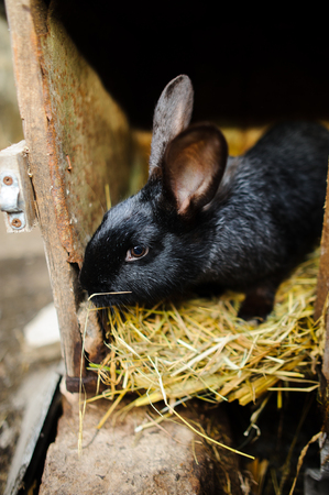 underlay: Big black rabbit in a cage. Big black rabbit in a cage. Sits on a underlay from hay.
