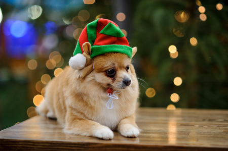 Charming pomeranian spitz in a bright hat. Against the background of the shining Christmas tree.