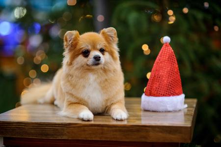 Charming pomeranian spitz against the background of the shining Christmas tree. Near a doggie Santa's cap.