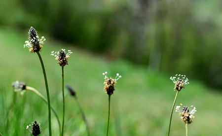 plantain herb: English plantain, medicinal plant.  It grows on a meadow.