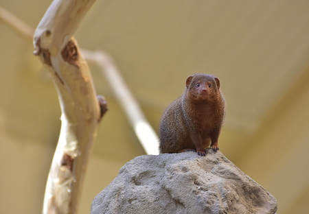 The common dwarf mongoose Helogale parvula, sometimes just called the dwarf mongoose, is a small African carnivore belonging to the mongoose family Herpestidae. Vienna zoo, 7. october 2017