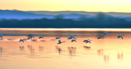 A group of Swans Flying Over the river Drava at Sunset. Blurred background. Stock Photo